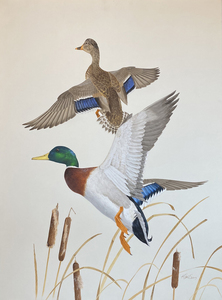 Ken Carlson - Mallards in Flight - watercolor - 35.5 x 26.5