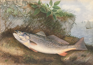 Weakfish - Samuel A. Kilbourne (D. 1881)