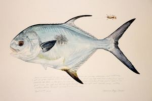 Paul Puckett - Ascension Bay Permit - watercolor - 20 x 30