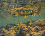 Mike Stidham - Sunlit Riffle, Brown Trout - giclee - 14 x 17.5